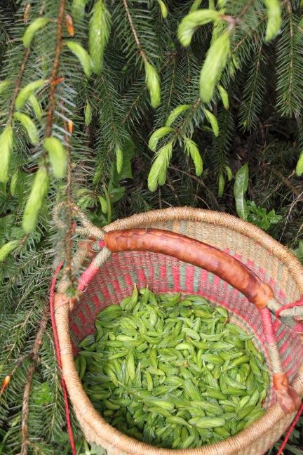 Spruce tips